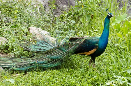 A  beautiful male peacock showing its colors In Natural Environment photo