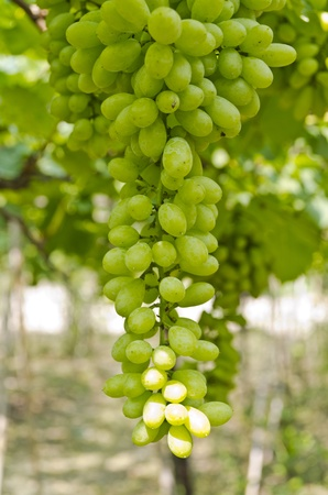 Bunch of green grapes on a farm in Thailand Stock Photo - 13208893