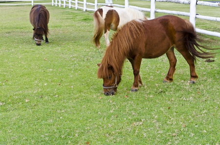 Dwarf horses eat grass on the prairie