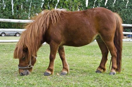 Dwarf horses eat grass on the prairie photo