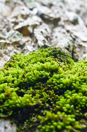 Small green Moss grow on large trees photo
