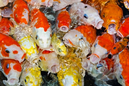 Koi carps crowding together competing for food Stock Photo - 13985011