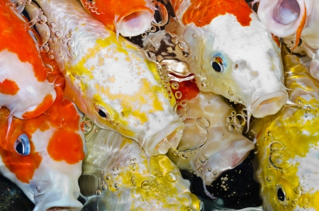 Koi carps crowding together competing for food photo