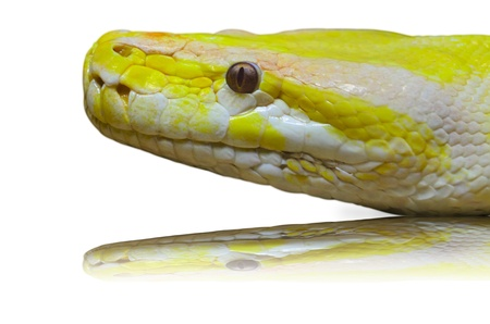 Close up of a Head albino python on the sand