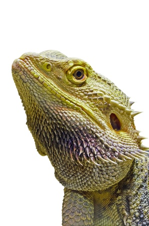 Close-up of the Bearded Dragon head on a white background  photo