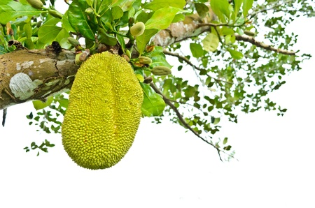Green Jackfruit on the tree, Thai fruit