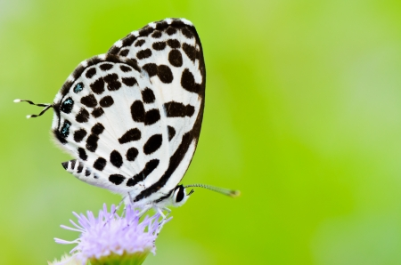 Common Pierrot, Castalius rosimon, white butterfly having black spots on the underside photo