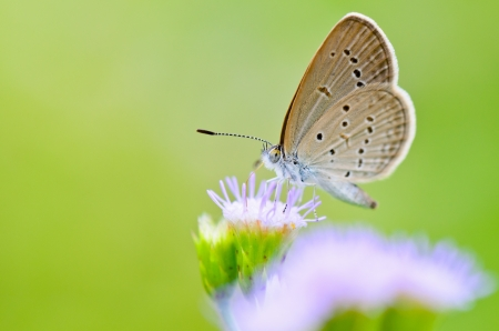 Tiny Grass Blue, Zizula hylax hylax, One of the smallest butterflies in the world, Thailand photo