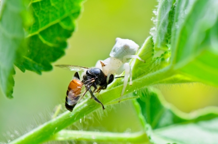 White Crab Spider has almost translucent head and legs eating bees Stock Photo