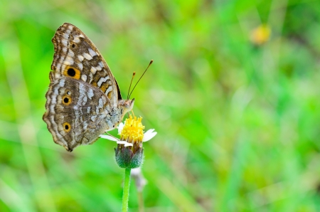Lemon Pansy, Close-up of a brown patterned butterfly with large  eye  spots on its wings  Thailand Stock Photo