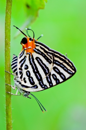 Club Silverline,Spindasis syama terana, White butterfly with orange tail in Thailand photo