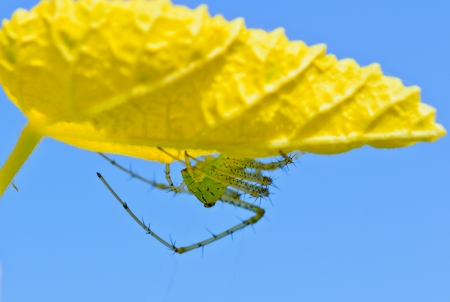 conspicuous: Peucetia viridans, the green lynx spider, is a conspicuous bright-green spider found on foliage of Thailand
