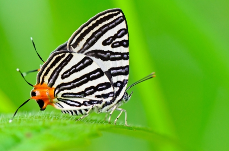 butterfly stationary: Club Silverline,Spindasis syama terana, White butterfly with orange tail in Thailand