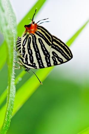 silverline: Club Silverline,Spindasis syama terana, White butterfly with orange tail in Thailand
