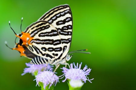 silverline: Club Silverline,Spindasis syama terana, White butterfly with orange tail of Thailand Stock Photo