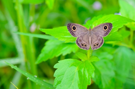 butterfly stationary: Ypthima baldus, Common Five Ring, Gray butterfly in Thailand