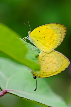 butterfly stationary: Common Grass Yellow, Eurema hecabe  mating in lawn  Thailand Stock Photo