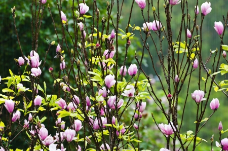 magnolia soulangeana: Magnolia Soulangeana  Pink flowers blooming in the rain  winter Thailand Stock Photo