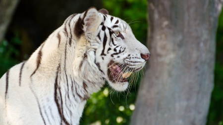 White Tiger  stare with their curiosity  Stock Photo - 16648319
