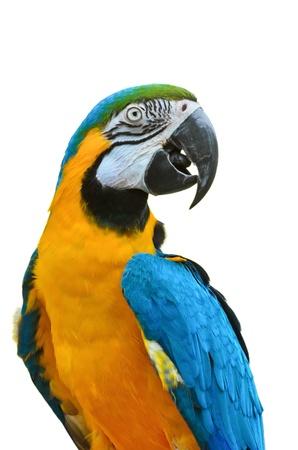 Close up  Blue and Gold Macaw, Scientific name   Ara ararauna