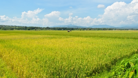 The beautiful landscape of rice fields in Thailand  9 16 photo