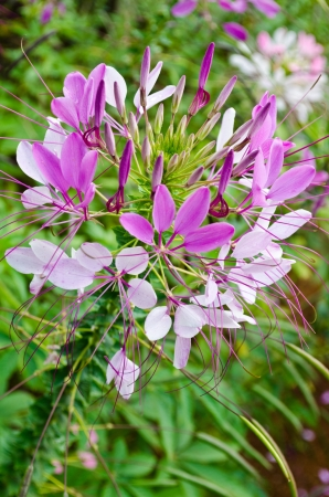 Multi-colored cleome  spider flower  in garden  It is a floral fragrance