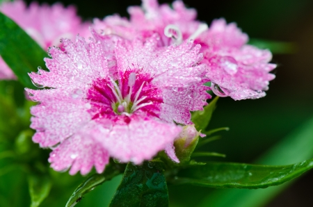 Dianthus, China Pink  Blossoming amid the morning dew  photo