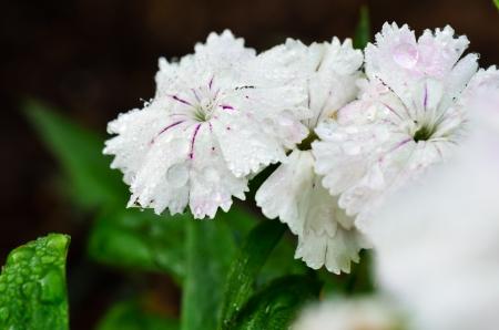 Dianthus, China Pink  Blossoming amid the morning dew  Stock Photo