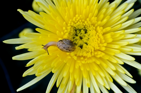 dwell: Snail feeding on yellow chrysanthemum amid the morning dew Stock Photo