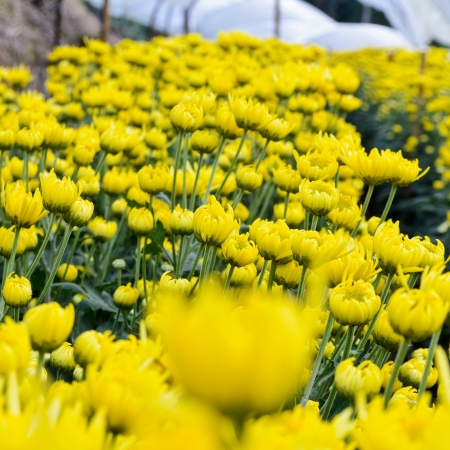 Chrysanthemum farm on Doi Inthanon mountain in Chiang Mai, Thailand  photo