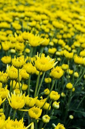 Chrysanthemum farm on Doi Inthanon mountain in Chiang Mai, Thailand  Stock Photo