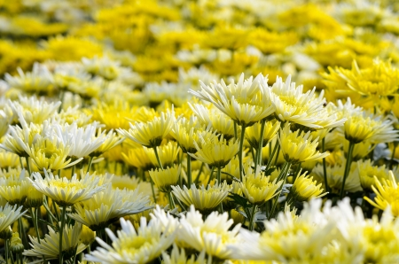 Chrysanthemum farm on Doi Inthanon mountain in Chiang Mai, Thailand  Stock Photo