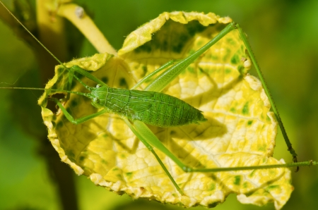 Speckled Bush  Green cricket in the yellow leaves photo
