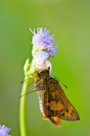 flower crab spider: White Crab Spider with captured butterfly on flower of the grass