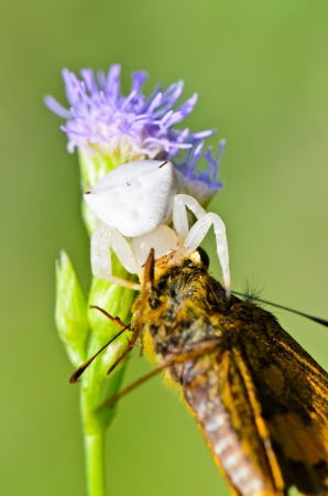 White Crab Spider with captured butterfly on flower of the grass