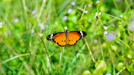 Plain Tiger   Danaus chrysippus  , Beautiful orange butterfly looking for food in the meadow, wide screen 16 9 photo