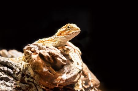 Bearded dragon  pogona vitticeps  isolated on black background