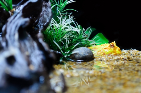 pacman: Albino, Horn Frog or Pacman Frog, In simulated natural environments