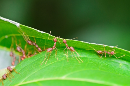 Weaver Ants  Oecophylla smaragdina  are working together to build a nest