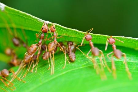 hormiga hoja: Tejedor Hormigas Oecophylla smaragdina est�n trabajando juntos para construir un nido