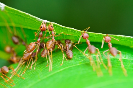 red ant: Weaver Ants  Oecophylla smaragdina  are working together to build a nest