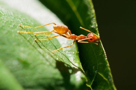 Weaver Ants  Oecophylla smaragdina  pulling leaves to build a nest only one  photo