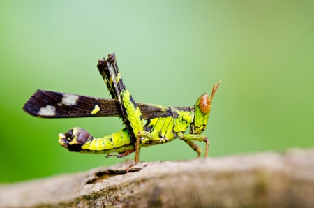 Conjoined Spot Monkey Grasshopper   Erianthus serratus   in the forests of Thailand  photo