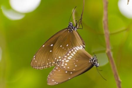 kaiser: Black Kaiser butterfly Penthema binghami mating