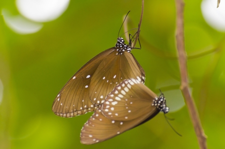 butterfly stationary: Black Kaiser butterfly Penthema binghami mating