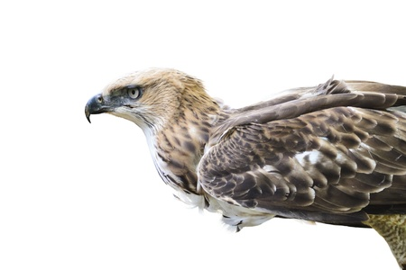 Changeable Hawk Eagle  Nisaetus limnaeetus   bird hunters are poised fly Stock Photo - 20069955