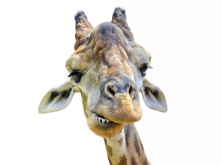 Head of giraffe on white background Stock Photo