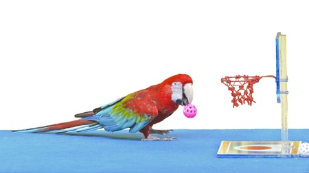 Green-Winged Macaw   Ara chloroptera   playing basketball toy is fun  16 9 photo