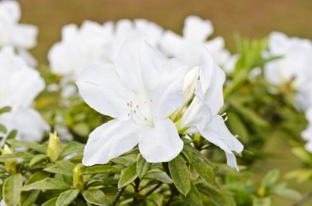 ericaceae: Rhododendron moulmeinene Hook Ericaceae fiori bianchi visto sul alta montagna Thailandia