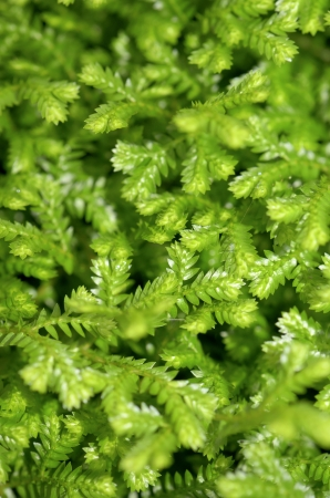 dense mats: Selaginella kraussiana   Trailing Selaginella   small plant with creeping stems forms dense mats of green foliage